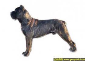 卡斯罗犬 - 非常温顺、喜欢和孩子玩耍
