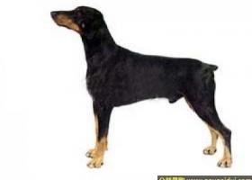 杜宾狗 - 足够的勇气,冷酷的表情