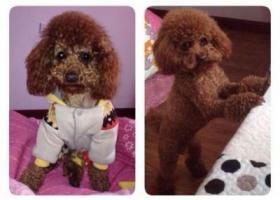 寻狗启示,西省汉中市兴州小区北区丢失一只泰迪犬,它是一只非常可爱的宠物狗狗,希望它早日回家,不要变成流浪狗。