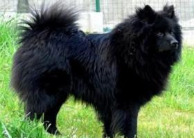 大型德国狐狸犬 - 高贵的气质、步态优美自然