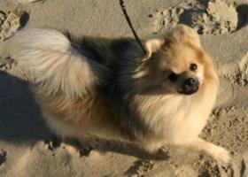 小型德国狐狸犬 - 专注、活泼、非常忠实