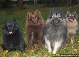中型德国狐狸犬 - 活泼、非常忠实于主人