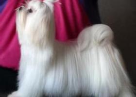 玛尔济斯犬 - 温驯乖巧、不怕生、很好客