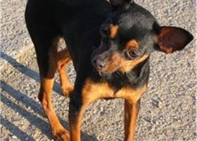 布拉格瑟瑞克犬 - 娇小敏锐、精力旺盛