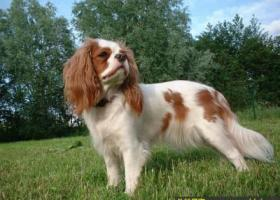 英国玩具猎鹬犬 - 充满感情、服从