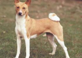 巴仙吉犬 - 活泼调皮、争强好胜、精神抖擞
