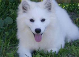 爱斯基摩犬 - 警惕、且聪明、有点保守