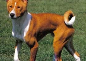 贝生吉犬 - 聪明、速度、打猎能力强