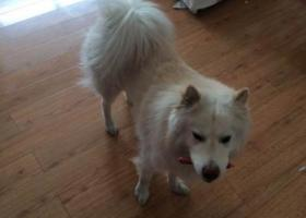 寻狗启示,龙江齐齐哈尔三联盛世家居附近丢失萨摩耶犬,它是一只非常可爱的宠物狗狗,希望它早日回家,不要变成流浪狗。