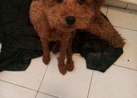 寻狗启示,东省东营市河口区仙河镇锦河花园丢失泰迪,它是一只非常可爱的宠物狗狗,希望它早日回家,不要变成流浪狗。