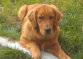 藏拉萨市金珠西路格桑林卡小区附近丢失名叫贝贝雄性金毛犬