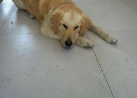 寻狗启示,南省楚雄市西山公园丢失一只名叫多多有点卷毛的金毛,它是一只非常可爱的宠物狗狗,希望它早日回家,不要变成流浪狗。