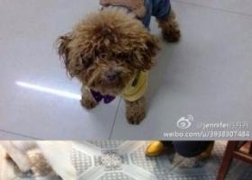 苏省东台市安丰镇丢失一只名为妮妮的泰迪狗