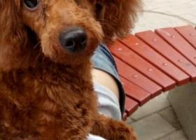 寻狗启示,东省济宁市洸河路仙营绿地附近走失一只名叫豆豆大长腿泰迪,它是一只非常可爱的宠物狗狗,希望它早日回家,不要变成流浪狗。
