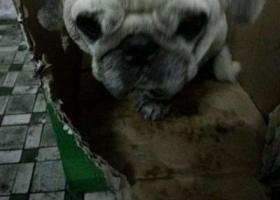 东省广州市黄埔区茅岗站捡到一只右眼有点伤的巴哥狗
