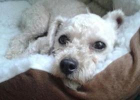 西壮族自治区柳州县体育中心门口附近走失三岁白色雌性贵宾犬