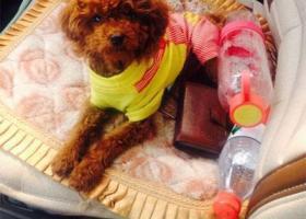 寻狗启示,西省侯马市寻狗新田市场丢失名叫暴雪的泰迪,它是一只非常可爱的宠物狗狗,希望它早日回家,不要变成流浪狗。