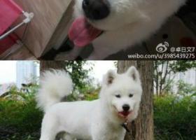 寻狗启示,西省赣州市寻狗飞龙岛大桥附近走失十个月棕色眼睛的萨摩,它是一只非常可爱的宠物狗狗,希望它早日回家,不要变成流浪狗。
