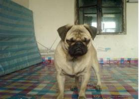 龙江省哈尔滨市寻狗名叫小胖的雄性巴哥