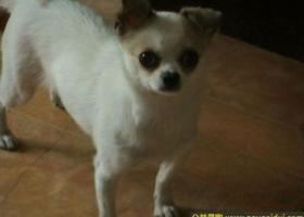 川省自贡市东锅菜市场寻狗六岁白色有点瘸的吉娃娃
