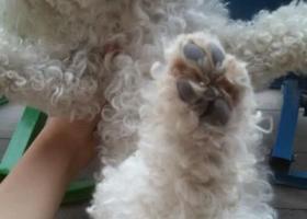 寻狗启示,徽省滁州市定远县炉桥镇寻狗白色雄性贵宾犬,它是一只非常可爱的宠物狗狗,希望它早日回家,不要变成流浪狗。