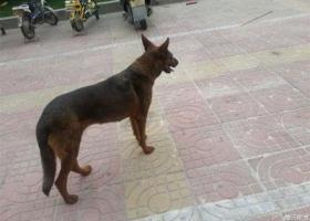 寻狗启示,东省德州市发现一只流浪狗,它是一只非常可爱的宠物狗狗,希望它早日回家,不要变成流浪狗。