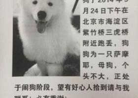 京市海淀区紫竹桥三虎桥寻狗名叫嬛嬛个头不大雌性萨摩耶