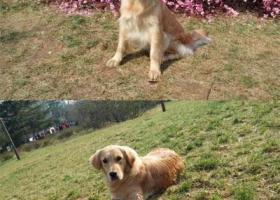 寻狗启示,西省铜川市王益区寻狗七一路附近丢失名叫宝宝金毛母狗,它是一只非常可爱的宠物狗狗,希望它早日回家,不要变成流浪狗。