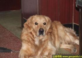 寻狗启示,西省阳泉市寻狗泉中路康复医院附近走丢名叫来福三岁金毛,它是一只非常可爱的宠物狗狗,希望它早日回家,不要变成流浪狗。