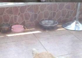 寻狗启示,徽省蚌埠市蚌山区南山路寻狗名叫馒头金色边境牧羊犬,它是一只非常可爱的宠物狗狗,希望它早日回家,不要变成流浪狗。