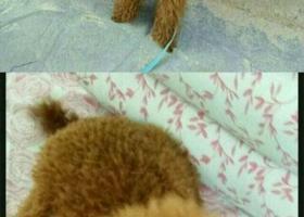 寻狗启示,西省榆林市榆阳区寻狗南门口气象局走失名叫丑蹦儿棕色泰迪,它是一只非常可爱的宠物狗狗,希望它早日回家,不要变成流浪狗。