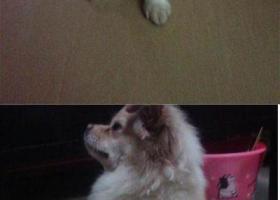 寻狗启示,川巴中市平昌县寻狗名叫花花住在二中到三江大道附近的留意下,它是一只非常可爱的宠物狗狗,希望它早日回家,不要变成流浪狗。