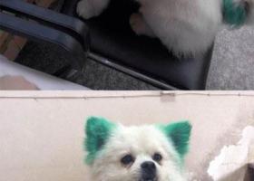 寻狗启示,徽省宁国市津河中学寻狗市医院对面台客隆超市走失白色狗狗,它是一只非常可爱的宠物狗狗,希望它早日回家,不要变成流浪狗。