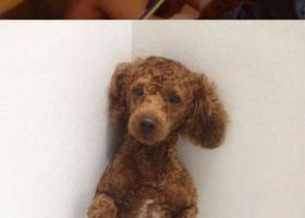 寻狗启示,南省永州市宁远县寻狗港行数码街丢失名叫安东尼红棕色泰迪,它是一只非常可爱的宠物狗狗,希望它早日回家,不要变成流浪狗。