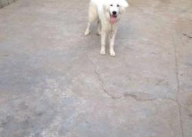 寻狗启示,东省临沂市费县寻狗朱家庄附近走丢大白熊右眼上方有一小痘偏瘦,它是一只非常可爱的宠物狗狗,希望它早日回家,不要变成流浪狗。