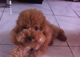 寻狗启示,西省临汾市洪洞县寻狗湾里市场丢失一只名叫妞妞泰迪狗,它是一只非常可爱的宠物狗狗,希望它早日回家,不要变成流浪狗。