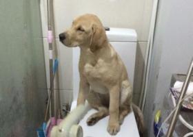 寻狗启示,东省德州市禹城市寻狗市中路丢失四个月大小金色拉布拉多爱犬,它是一只非常可爱的宠物狗狗,希望它早日回家,不要变成流浪狗。