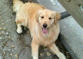 寻狗启示,东省曲阜市曲阜师范大学寻狗丢失金毛一只,它是一只非常可爱的宠物狗狗,希望它早日回家,不要变成流浪狗。