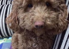 寻狗启示,肃省武威市凉州区寻狗名叫安妮浅咖色小眼睛母狗,它是一只非常可爱的宠物狗狗,希望它早日回家,不要变成流浪狗。