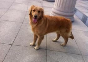寻狗启示,东省潍坊市寻狗汽车总站对面丁家道口附近金毛母狗眼角下发红,它是一只非常可爱的宠物狗狗,希望它早日回家,不要变成流浪狗。