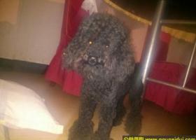 寻狗启示,徽省宿州市奥城丢失黑色泰迪,它是一只非常可爱的宠物狗狗,希望它早日回家,不要变成流浪狗。