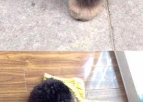 寻狗启示,苏省扬州市邗江区寻狗曙光新苑附近丢失名叫呼呼黑色泰迪,它是一只非常可爱的宠物狗狗,希望它早日回家,不要变成流浪狗。