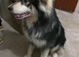 寻狗启示,徽省宣城市寻狗开达名城走失黑灰色阿拉斯加犬,它是一只非常可爱的宠物狗狗,希望它早日回家,不要变成流浪狗。