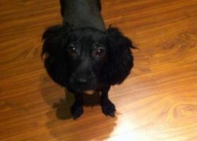 寻狗启示,南省许昌市寻狗文峰路小火车站附近走丢名字叫黑迪的黑色泰迪,它是一只非常可爱的宠物狗狗,希望它早日回家,不要变成流浪狗。