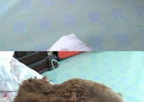 寻狗启示,徽省阜阳市颍上县寻狗方市超市附近丢失叫琪琪琪宝泰迪母狗,它是一只非常可爱的宠物狗狗,希望它早日回家,不要变成流浪狗。