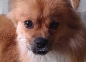 西省西安市新城区寻狗东六路附近走失名叫熊熊全身毛发金黄公狗