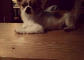 寻狗启示,西省赣州市会昌县寻狗,它是一只非常可爱的宠物狗狗,希望它早日回家,不要变成流浪狗。