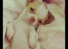 寻狗启示,肃省庆阳市西峰区寻找狗西大街电力公司小区丢失黄白吉娃娃,它是一只非常可爱的宠物狗狗,希望它早日回家,不要变成流浪狗。