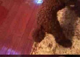 寻狗启示,龙江省齐齐哈尔寻找狗浏园安居小区走失名叫球球棕色卷毛公狗,它是一只非常可爱的宠物狗狗,希望它早日回家,不要变成流浪狗。