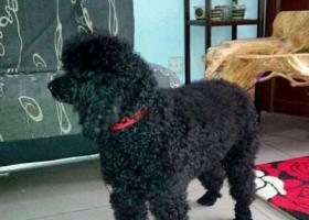 寻狗启示,东省日照市莒县寻狗养了五年的泰迪,它是一只非常可爱的宠物狗狗,希望它早日回家,不要变成流浪狗。